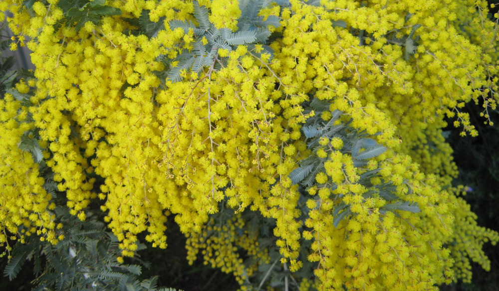 Wattle Day Display