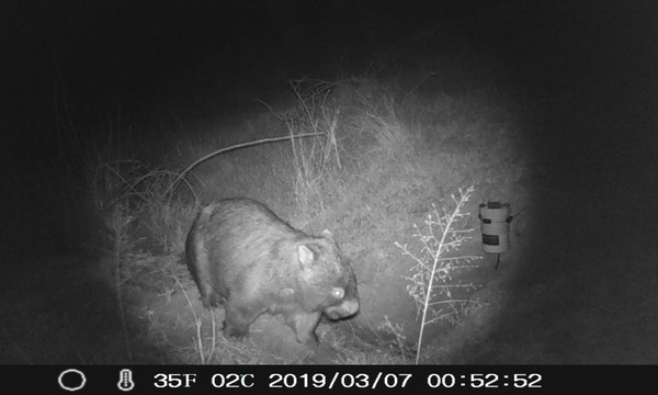 ACT Wildlife – working to improve wombat health in the Canberra Region